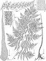 Dryopteris sweetorum.jpg