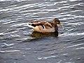 Duck (4007491526).jpg