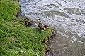 Duck (51185344576).jpg