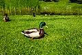 Ducks (39238230325).jpg