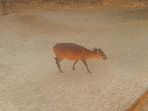 Duiker - Red-flanked duiker at the San Antonio Zoo in San Antonio, Texas