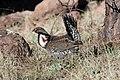 Dusky Grouse (Dendragapus obscurus) (5752051489).jpg