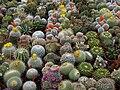 Dwarves cactus.JPG