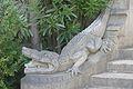 EH Abbadia (krokodiloa).jpg