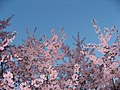 Early Pink Cherry Blossoms (5566827632).jpg