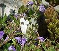 Eastern Bath White . Pontia edusa (44965797811).jpg