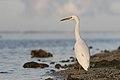 Eastern Reef Egret (Egretta sacra) white morph (27337149757).jpg
