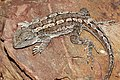 Eastern bearded dragon03.jpg