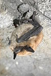 Eastern small-footed bat (5881246126).jpg