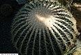Echinocactus grusonii 11zz.jpg