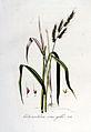 Echinochloa crus-galli — Flora Batava — Volume v6.jpg