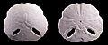Echinodiscus12.jpg