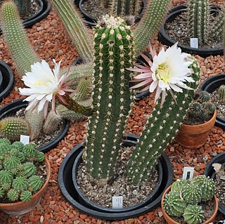 <i>Echinopsis candicans</i> species of plant