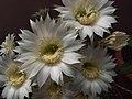 Echinopsis oxygona (6).jpg