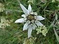 Edelweiss (3).JPG