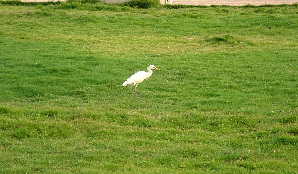 Egret At Malampuzha Garden