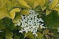 Elderflowers - geograph.org.uk - 930914.jpg