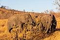 Elefantes africanos de sabana (Loxodonta africana), parque nacional Kruger, Sudáfrica, 2018-07-25, DD 13.jpg