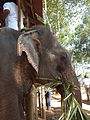 Elephant getting ready for safari in Kumily, thekady 6024.JPG
