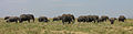 Elephant herd, Serengeti.jpg