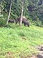 Elephants Tangkahan (Namu Sialang).jpg