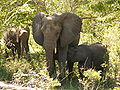 Elephants chobe national park.jpg