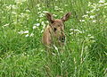 Elk calf in grass.jpg