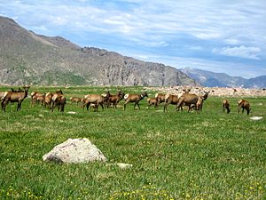 Mammals of Rocky Mountain National Park - A herd of elk on Flattop Mountain