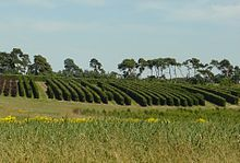 A picture shows a large area which is dedicated to the growing of instant hedge in rows, in different species at the Elveden Estate in East Anglia