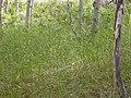 Elymus glaucus (3809209256).jpg
