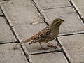 Emberiza citrinella in Pushchino 7.jpg