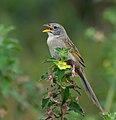 Emberizoides herbicola -nature reserve, Piraju, Sao paulo, Brazil-8.jpg