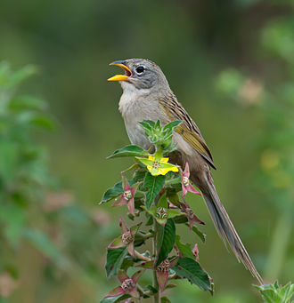 Wedge-tailed grass finch - At a nature reserve in Piraju, Brazil