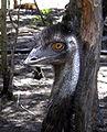 Emu closeup.jpg