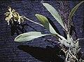 Encyclia diurna - plant.jpg