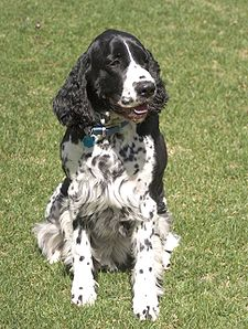 English Springer Spaniel black sitting.jpg