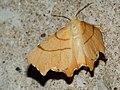 Ennomos erosaria - September thorn - Угловатая пяденица берёзовая (40883124522).jpg