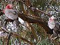 Eolophus roseicapilla - sleeping 2.JPG