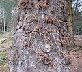 Epicormic branching in Picea sitchenenis (Sitka Spruce).JPG