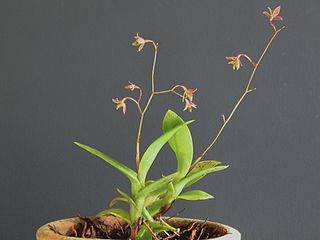 <i>Epidendrum compressum</i> Species of plant