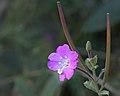 EpilobiumHirssutum-flower-pods-bud.jpg