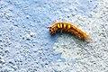 Erebidae (25612241053).jpg