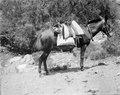 Eric von Rosens mulåsna sadlad på argentinskt vis. Sydamerika. Argentina - SMVK - 003640.tif
