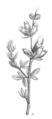 Erinacea anthyllis Taub110d.png