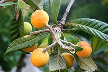 Frunze şi fructe de moşmon japonez
