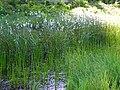 Eriophorum angustifolium Velky mocal.jpg