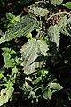 Erysiphe urticae on Common Nettle - Urtica dioica (44702608564).jpg