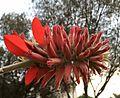 Erythrina latissima00.jpg