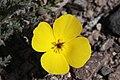 Eschscholzia glyptosperma in Death Valley.jpg