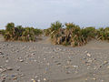 Ethiopie-Danakil-Végétation (2).jpg